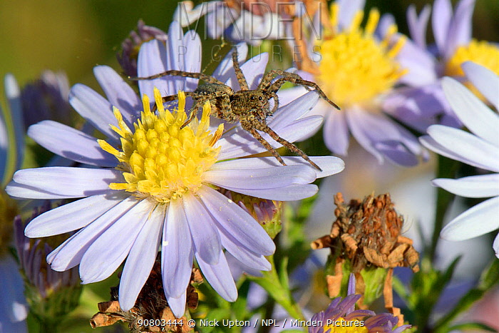 Wolf spider (Pardosa sp.) sunning on an Aster flowerhead, Wiltshire meadow, UK, September.