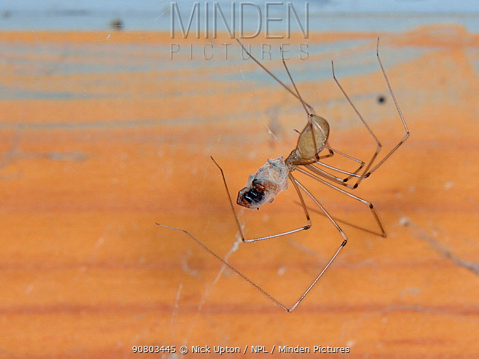 Longbodied cellar spider / Daddly longlegs spider (Pholcus phalangioides) hanging on its web in an outhouse and feeding on a House spider (Tegenaria sp.) it has killed and wrapped in silk, Somerset, UK, October.