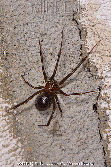 False black widow or Cupboard spider (Steatoda grossa) female on the wall of a garden shed, near Wells, Somerset, UK, October.