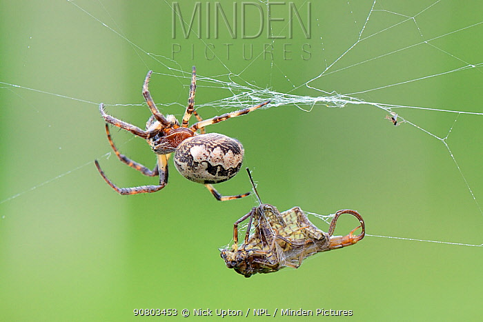 Furrow Orb weaver spider (Larinioides cornutus) near a Green drake mayfly (Ephemera danica) it has caught and wrapped in its riverside web, Lacock, Wiltshire, UK, May.