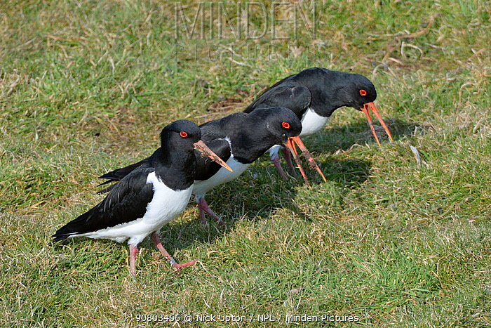 Oystercatchers (Haematopus ostralegus) males piping to court a nearby female on pastureland, Gloucestershire, UK, February.