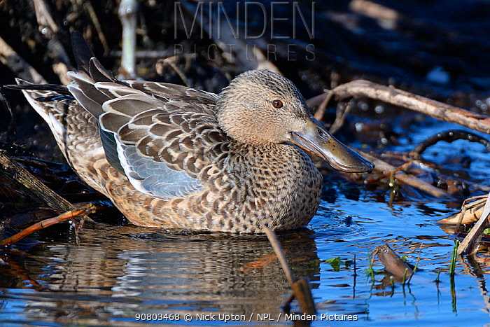 Northern shoveler (Anas clypeata) duck entering the water to forage in a partially flooded marsh, Greylake RSPB reserve, Somerset Levels, UK, February.