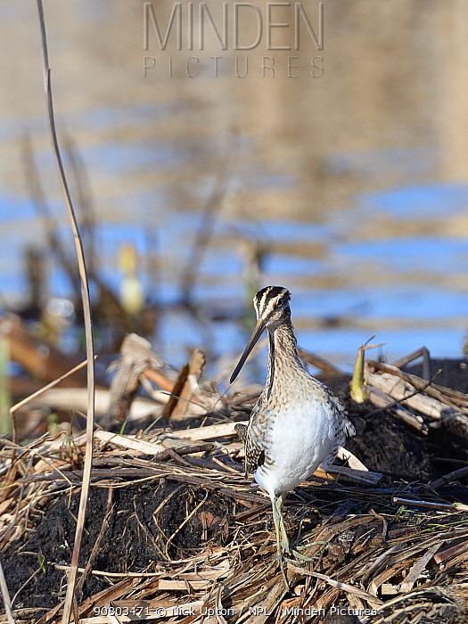 Common snipe (Gallinago gallinago) standing alert in marshland, Greylake RSPB reserve, Somerset Levels, UK, February.