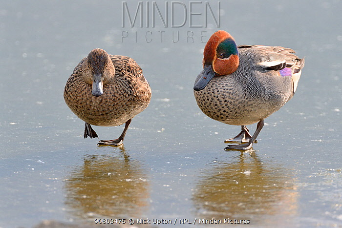 Common teal (Anas crecca) pair walking across a frozen lake, Gloucestershire, UK, February.
