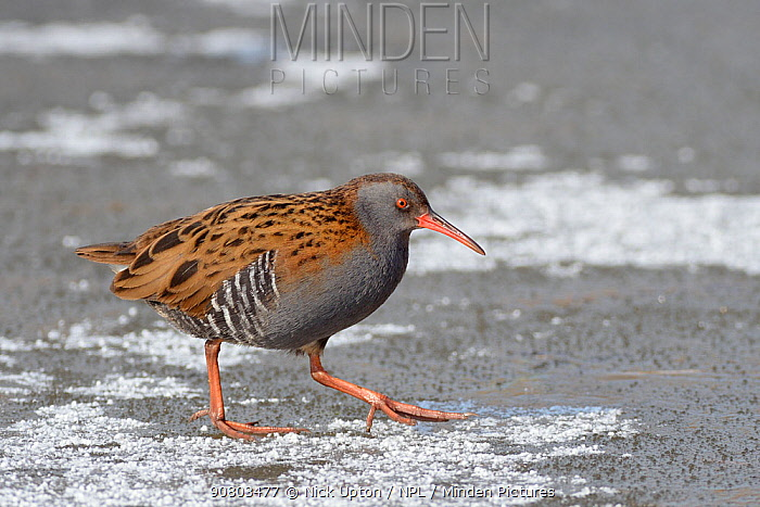 Water rail (Rallus aquaticus) walking across a frozen, snow dusted pond, Gloucestershire, UK, February.