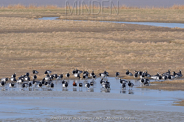 Flock of Barnacle geese (Branta leucopsis) and a single Red-breasted goose (Branta ruficollis) drinking from a freshwater pool on a saltmarsh bordering the Severn estuary, Gloucestershire, UK, February.