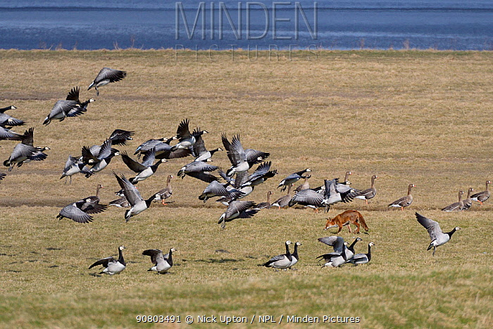 Barnacle geese (Branta leucopsis) taking off as a hunting Red fox (Vulpes vulpes) walks across the saltmarsh they were resting on, Severn estuary, Gloucestershire, UK, February.