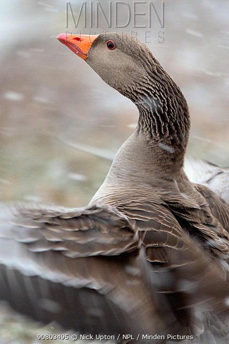 Greylag goose (Anser anser) flapping its wings in blowing snow, Gloucestershire, UK, February.