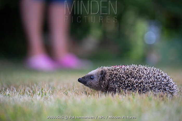 Hedgehog (Erinaceus europaeus) at rehabilitation centre. Ski, Akershus, Norway. July.