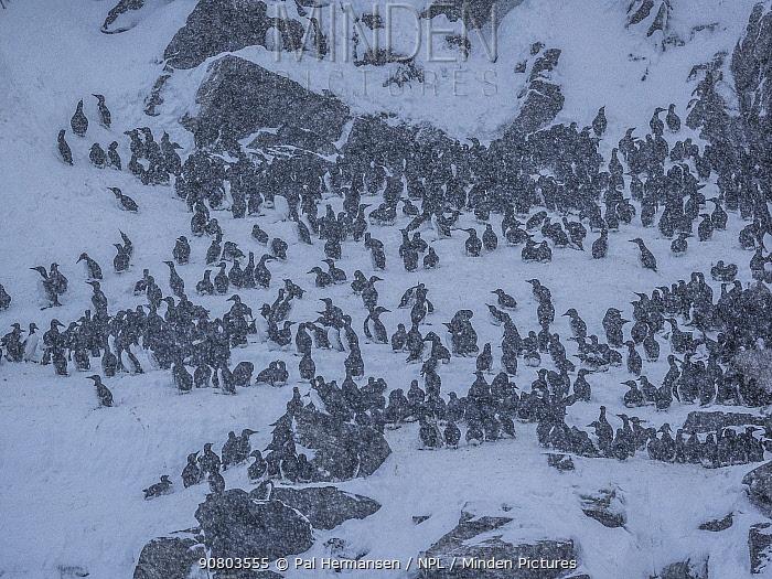 Guillemot (Uria aalge) breeding colony on cliff in snow. Finnmark, Norway. March.
