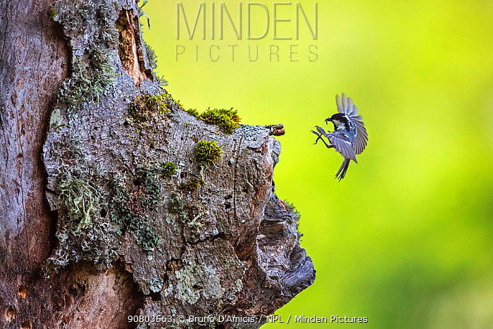 Coal tit (Parus ater) returning to its nest built in ancient old-growth Beech (Fagus sylvatica) forest tree, Abruzzo, Lazio and Molise National Park / Parco Nazionale d'Abruzzo, Lazio e Molise UNESCO World Heritage Site Italy. June