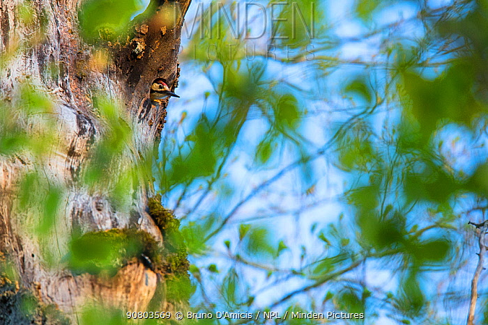 Lilford's white-backed woodpecker (Dendrocopos leucotos lilfordi) peering from its nest built in ancient old-growth Beech (Fagus sylvatica) forest tree, Abruzzo, Lazio and Molise National Park / Parco Nazionale d'Abruzzo, Lazio e Molise UNESCO World Heritage Site Italy. April
