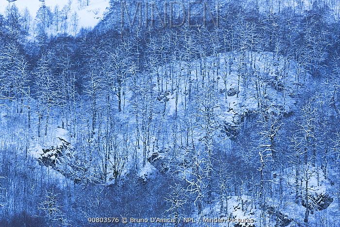 Centuries-old Beech (Fagus sylvatica) trees in Coppo del Principe old-growth beech forest during a winter snowfall. Abruzzo, Lazio and Molise National Park / Parco Nazionale d'Abruzzo, Lazio e Molise UNESCO World Heritage Site Pescasseroli, Italy. February 2014.