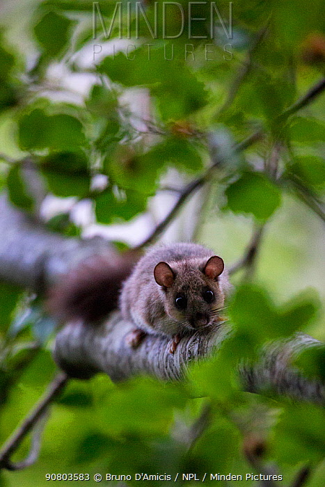 Edible dormouse (Glis glis) on old-growth Beech (Fagus sylvatica) forest tree, UNESCO World Heritage Site. Abruzzo, Lazio and Molise National Park, Italy. July 2013