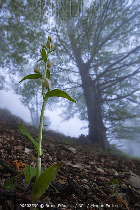 White helleborine orchid (Cephalanthera rubra) in old-growth Beech (Fagus sylvatica) forest. Abruzzo, Lazio and Molise National Park / Parco Nazionale d'Abruzzo, Lazio e Molise UNESCO World Heritage Site Italy. June 2013