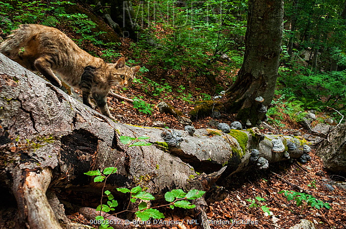 Eurasian wildcat (Felis sylvestris) walking on the trunk of a fallen old-growth Beech (Fagus sylvatica) forest tree, Abruzzo, Lazio and Molise National Park / Parco Nazionale d'Abruzzo, Lazio e Molise UNESCO World Heritage Site, Italy. July. Remote camera trap image.