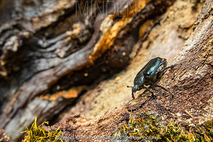Hermit beetle (Osmoderma eremita) male in decaying wood of old-growth Beech (Fagus sylvatica) forest tree. Endangered species. UNESCO World Heritage Site. Abruzzo, Lazio and Molise National Park, Italy. August