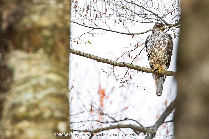 Goshawk (Accipiter gentilis) female perched on Beech tree (Fagus sylvatica) in old growth forest, Abruzzo, Lazio and Molise National Park / Parco Nazionale d'Abruzzo, Lazio e Molise UNESCO World Heritage Site, Italy. April