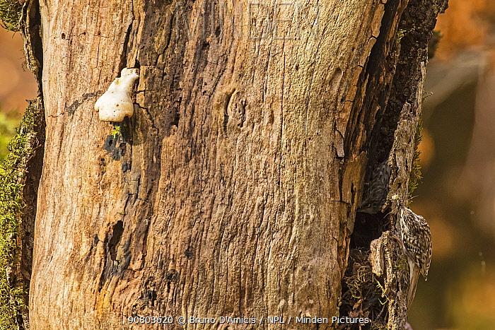Treecreeper (Certhia familiaris) returning to nest built under bark of dead old-growth Beech (Fagus sylvatica) forest tree, Abruzzo, Lazio and Molise National Park / Parco Nazionale d'Abruzzo, Lazio e Molise UNESCO World Heritage Site June. Italy
