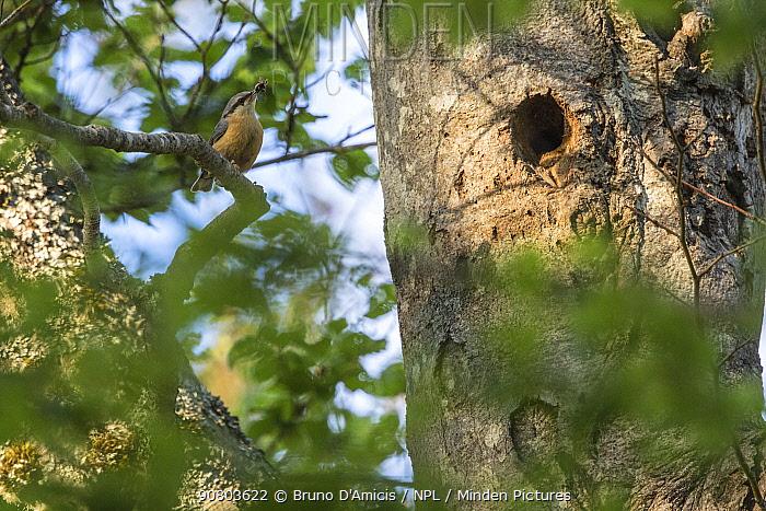 Nuthatch (Sitta europaea) nest in old-growth Beech (Fagus sylvatica) forest. Abruzzo, Lazio and Molise National Park / Parco Nazionale d'Abruzzo, Lazio e Molise UNESCO World Heritage Site, Italy. June 2017