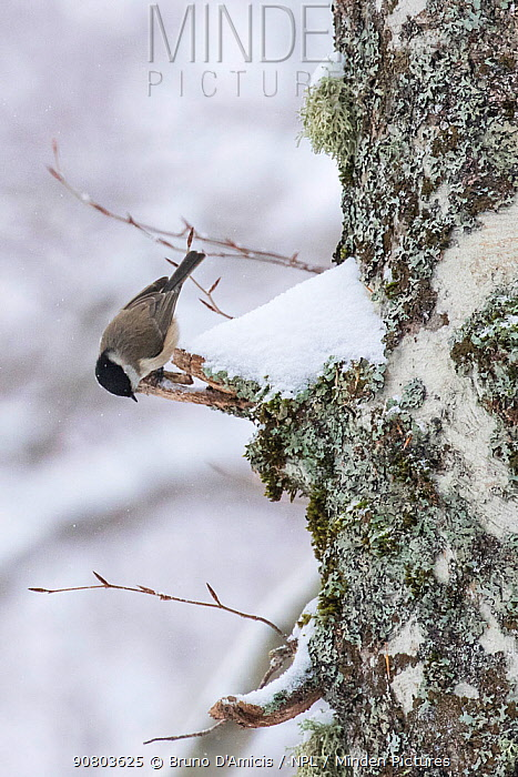 Marsh tit (Parus palustris) searching for food on centuries-old Beech (Fagus sylvatica) tree bark in Coppo del Principe old-growth beech forest during a winter snowfall. Abruzzo, Lazio and Molise National Park / Parco Nazionale d'Abruzzo, Lazio e Molise UNESCO World Heritage Site, Pescasseroli, Italy. March.