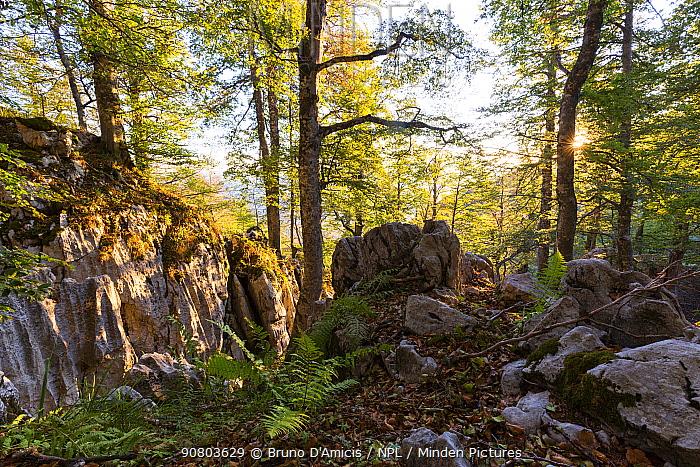 Sunrise in the Coppo del Principe old-growth Beech (Fagus sylvatica) forest. Abruzzo, Lazio and Molise National Park / Parco Nazionale d'Abruzzo, Lazio e Molise UNESCO World Heritage Site Pescasseroli, Italy. June 2017