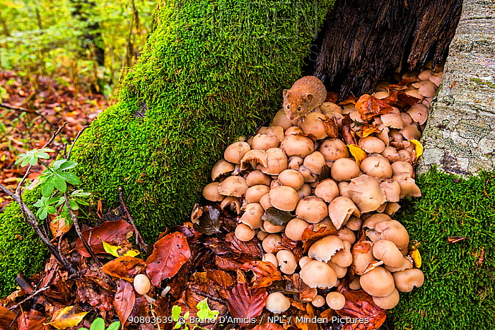 Red vole (Myodes glareolus) sitting on toadstools at the entrance to its den in hollow tree in old growth Beech (Fagus sylvatica) forest, Abruzzo, Lazio and Molise National Park / Parco Nazionale d'Abruzzo, Lazio e Molise UNESCO World Heritage Site, Italy. October.