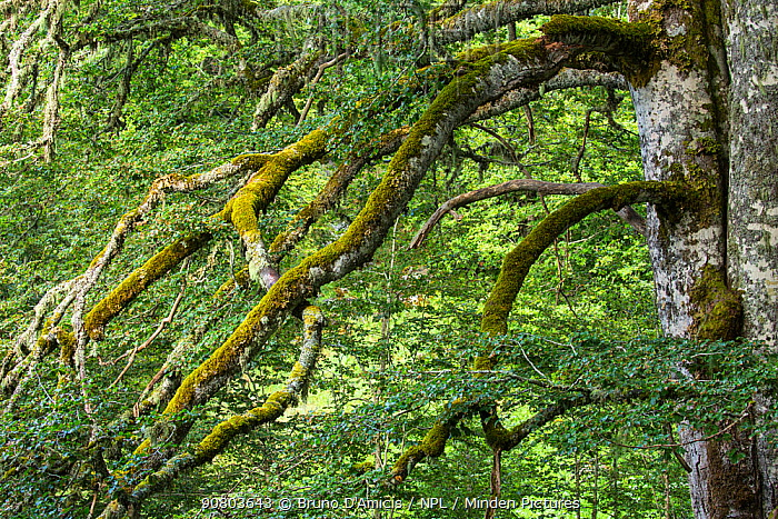 Centuries-old Beech tree (Fagus sylvatica) branch covered in mosses and lichens in old-growth Beech forest. Abruzzo, Lazio and Molise National Park / Parco Nazionale d'Abruzzo, Lazio e Molise UNESCO World Heritage Site Italy. August 2015