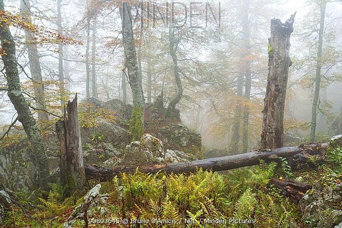 Fallen trees in Coppo del Principe old-growth Beech (Fagus sylvatica) forest. Abruzzo, Lazio and Molise National Park / Parco Nazionale d'Abruzzo, Lazio e Molise UNESCO World Heritage Site Pescasseroli, Italy. October 2016