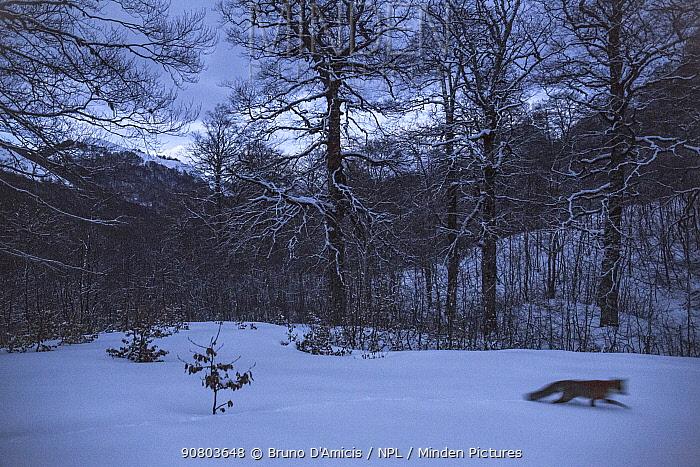 Red fox (Vulpes vulpes) moving at twilight in Coppo del Principe old-growth Beech (Fagus sylvatica) forest in winter. Abruzzo, Lazio and Molise National Park / Parco Nazionale d'Abruzzo, Lazio e Molise UNESCO World Heritage Site Pescasseroli, Italy. March.