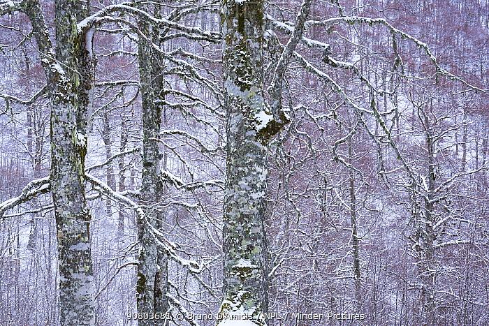 Centuries-old Beech (Fagus sylvatica) trees in Coppo del Principe old-growth beech forest during a winter snowfall. Abruzzo, Lazio and Molise National Park / Parco Nazionale d'Abruzzo, Lazio e Molise UNESCO World Heritage Site Pescasseroli, Italy. January 2016.