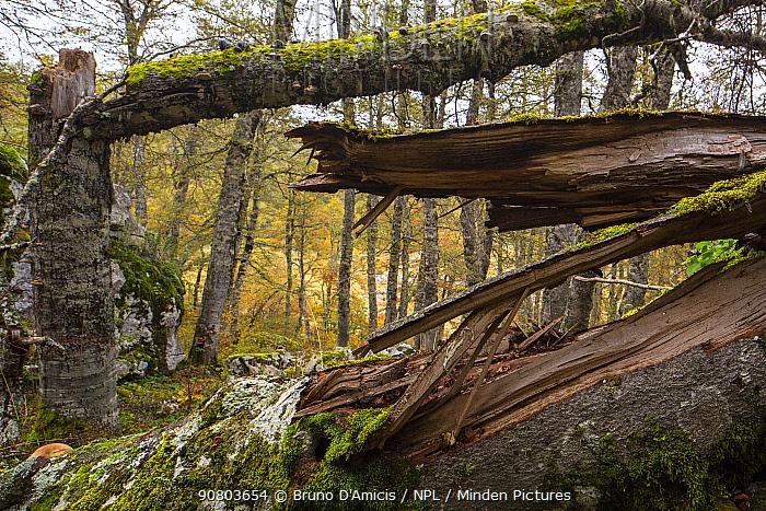 Detail of fallen tree in Selva Moricento old-growth Beech (Fagus sylvatica) forest in autumn. Abruzzo, Lazio and Molise National Park / Parco Nazionale d'Abruzzo, Lazio e Molise UNESCO World Heritage Site Pescasseroli-Scanno, Italy. November 2016