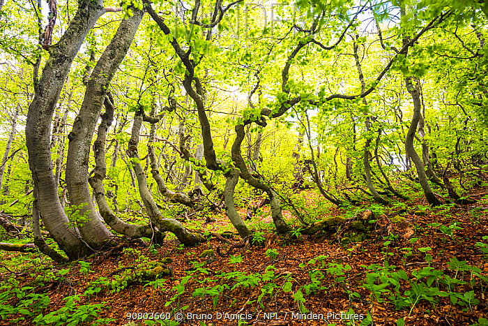 Beech (Fagus sylvatica) trees which have been shaped by snow and wind in old-growth forest. Abruzzo, Lazio and Molise National Park / Parco Nazionale d'Abruzzo, Lazio e Molise UNESCO World Heritage Site Italy. May 2017
