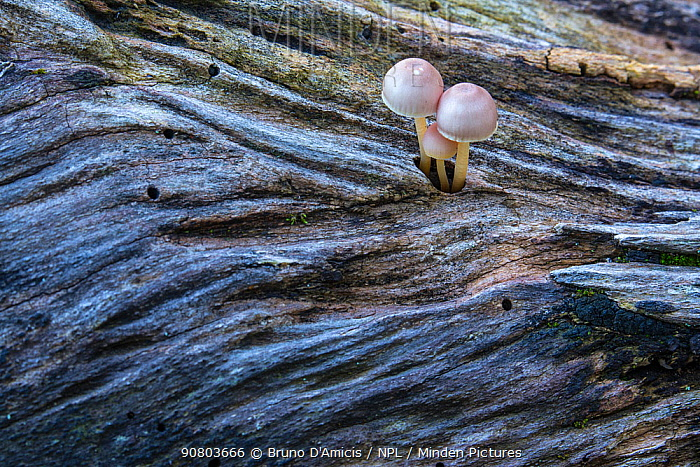 Toadstools emerging from decaying wood in old-growth Beech (Fagus sylvatica) forest. Abruzzo, Lazio and Molise National Park / Parco Nazionale d'Abruzzo, Lazio e Molise UNESCO World Heritage Site Italy. September 2015