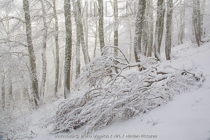 Fallen tree in Coppo del Principe old-growth Beech (Fagus sylvatica) forest during a winter snowfall. Abruzzo, Lazio and Molise National Park / Parco Nazionale d'Abruzzo, Lazio e Molise UNESCO World Heritage Site Pescasseroli, Italy. January 2016.