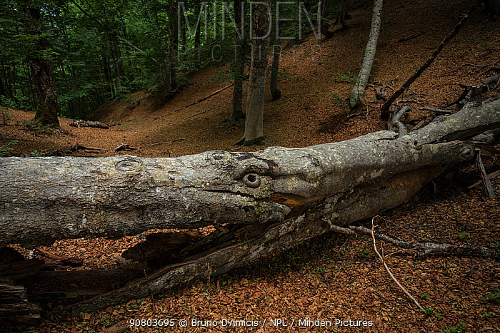 Fallen beech tree (Fagus sylvatica) , which looks like an animals face, in Cacciagrande old-growth beech forest in summer. Abruzzo, Lazio and Molise National Park / Parco Nazionale d'Abruzzo, Lazio e Molise UNESCO World Heritage Site Opi, Italy. August 2015