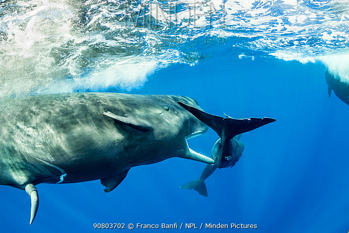 Sperm whale (Physeter macrocephalus) young male trying to copulate with a female. The calf of the female was in the way so the male is trying to chase it away. Dominica.