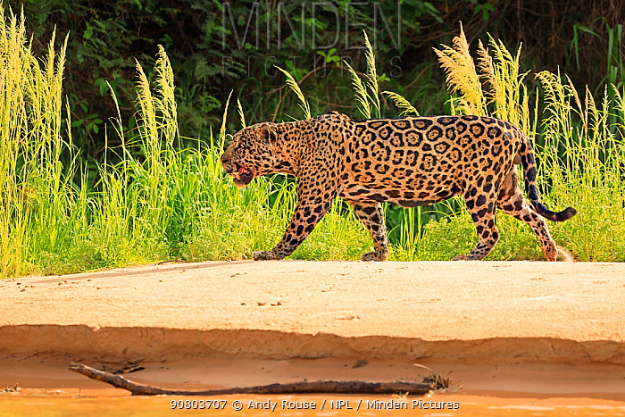 Jaguar (Panthera onca) old male hunting on riverbank, Pantanal, Brazil