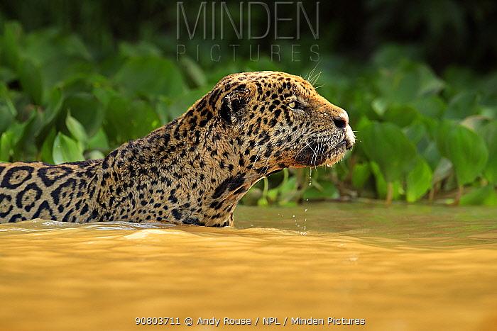 Jaguar (Panthera onca) hunting in river, Pantanal, Brazil