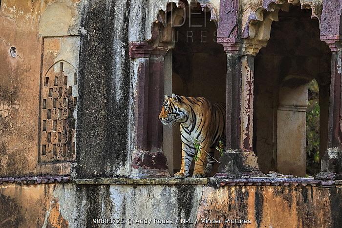 Bengal tiger (Panthera tigris) male Cowboy T91 in old building, Ranthambhore, India