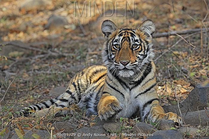 Bengal tiger (Panthera tigris) inquisitive tiger cub, Ranthambhore, India