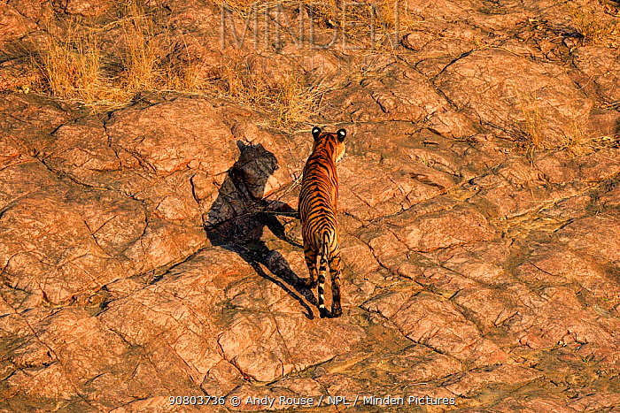Looking down on Bengal tiger (Panthera tigris) sub-adult, Ranthambhore, India. December