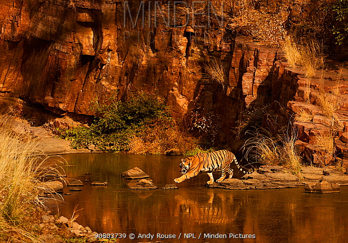 Bengal tiger (Panthera tigris) sub-adult at waterhole, Ranthambhore, India
