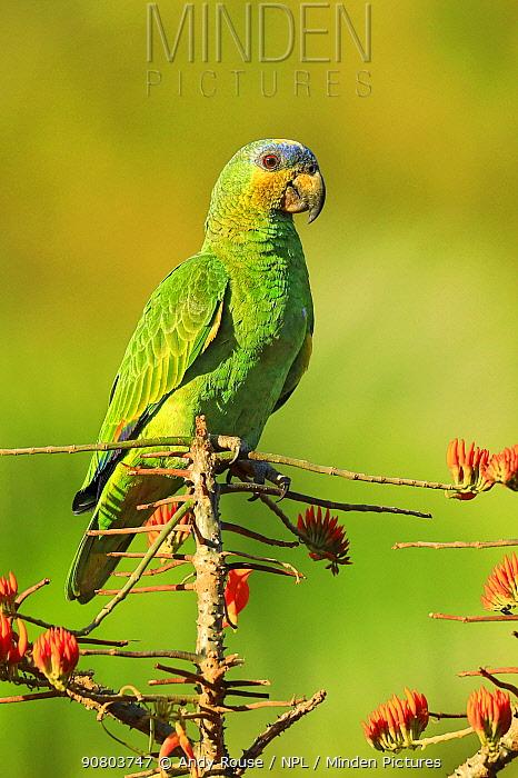 Orange-winged parrot (Amazona amazonica) feeding on flowering Immortelle tree, Tobago