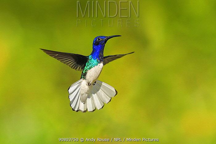 White-necked Jacobin hummingbird (Florisuga mellivora) hovering with tail erect to show aggression , Tobago