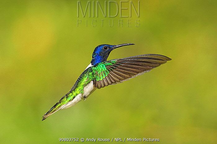 White-necked jacobin hummingbird (Florisuga melivora) hovering, Tobago
