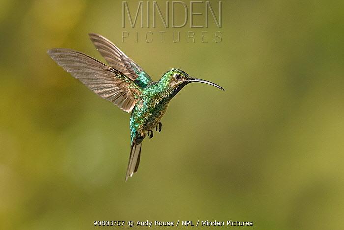 Rufus-breasted Hermit hummingbird (Giaucis hirsutus) female hovering, Tobago