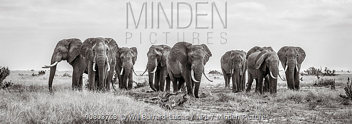 Black and white image of African elephant (Loxodonta africana) herd, panoramic. Tsavo Conservation Area, Kenya. Editorial use only.