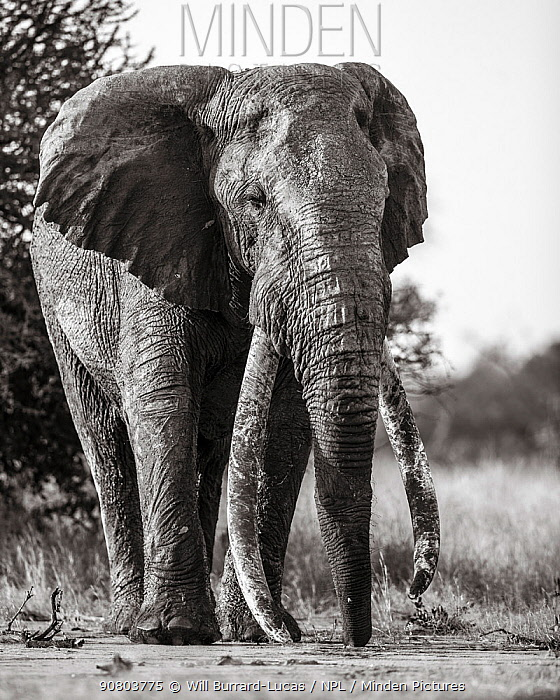Black and white image of African elephant (Loxodonta africana) bull with large tusks, Tsavo Conservation Area, Kenya. Taken with a remote camera buggy / BeetleCam. Editorial use only.