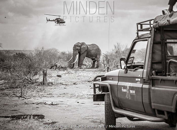 Black and white image of Tsavo Trust vehicle and Kenya Wildlife Service helicopter converge on a African elephant (Loxodonta africana) bull during an
